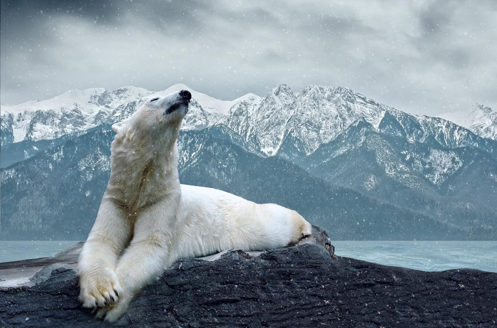 Картинка белые медведи