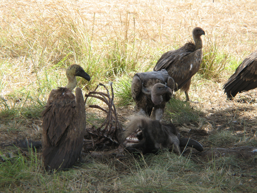White-backed_vultures_eating_a_dead_wildebeest