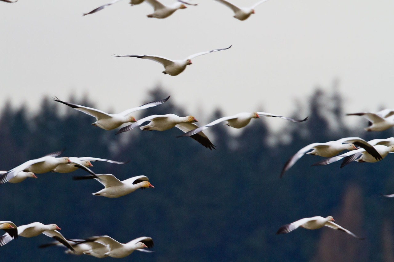 geese-918894_1280