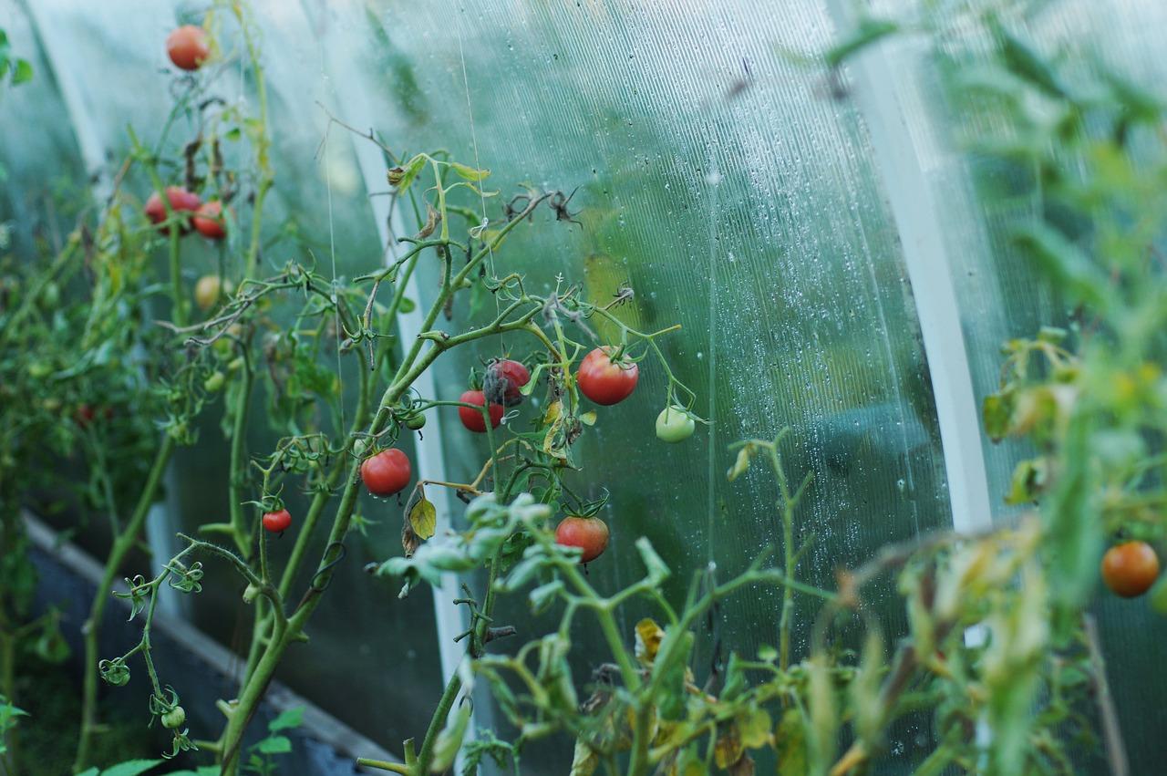 tomatoes-1180852_1280