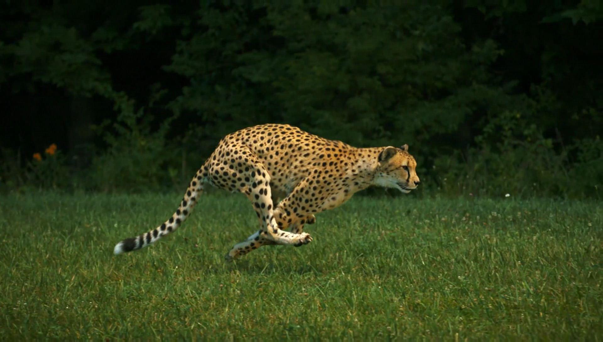 Гепард Сара - самое быстрое млекопитающее в мире - пробегает 100 метров за 5,95 сек. Но даже она не выиграет у человека состязание в беге на большой дистанции