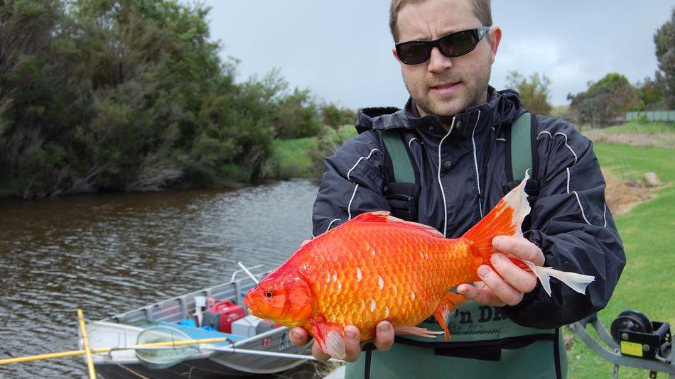 Иногда экологам попадаются огромные экземпляры золотых рыбок, весящие около 2 кг | MURDOCH UNIVERSITY