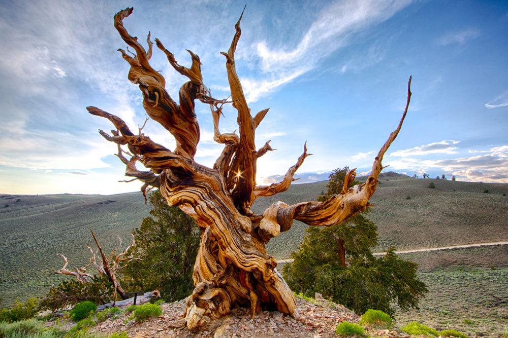 Мафусаил - старейшее отдельностоящее дерево на планете   https://www.flickr.com/photos/yenchao/9187262932/in/photostream/