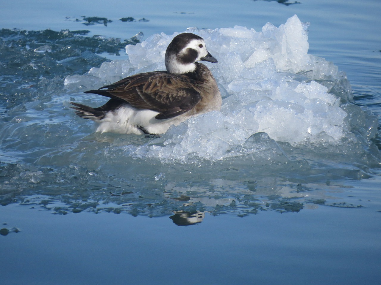 long-tailed-duck-270317_1280