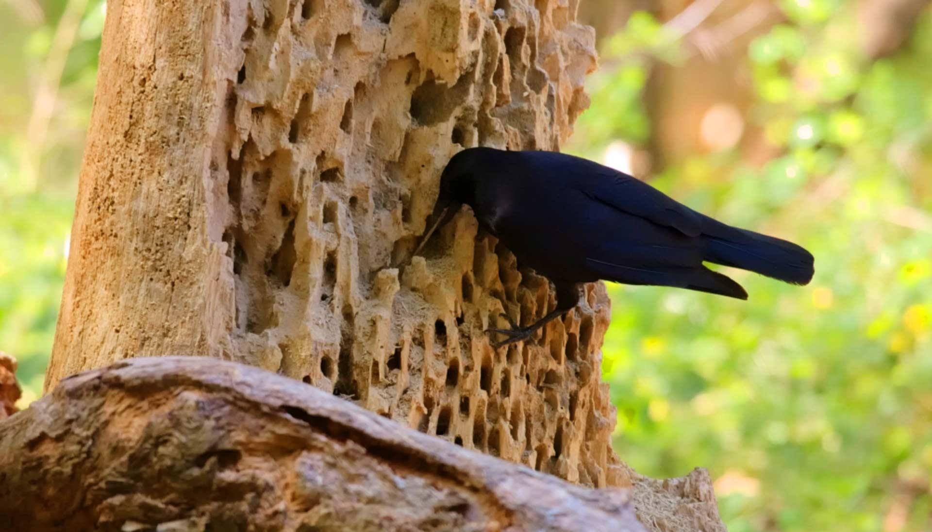 Новокаледонский ворон использует палочку, чтобы достать личинки | Jolyon Troscianko