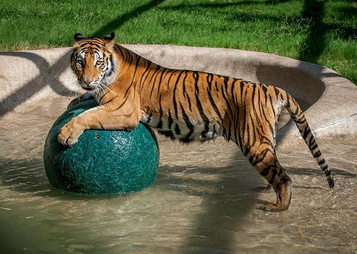 rescue-tiger-recovery-circus-aasha-5