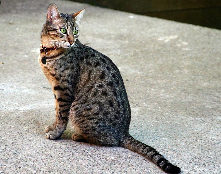 Египетский мау - самая быстрая порода домашних кошек | источник