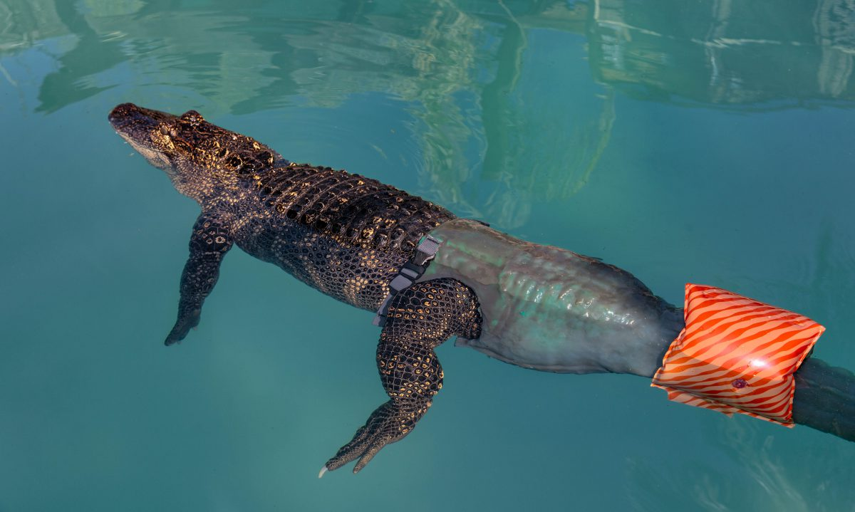 The Amazing Mr. Stubbs: The World's First Alligator With A Prostatic Tail