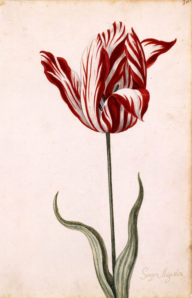 tulipomania Forever famous in world history is the period in holland from 1634 to 1637, known as tulipomania at about the same time the massachusetts bay colony was getting its roots down, a strange craze took place in the netherlands.